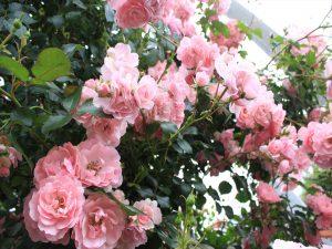 バラの香りに包まれます