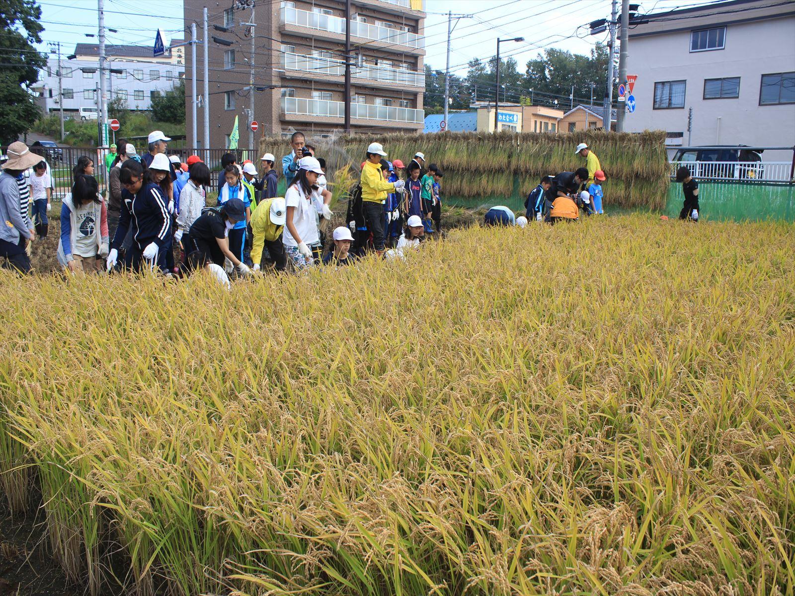 学校の水田「ゆめ田んぼ あしりべつ」で稲刈りする児童