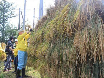刈った稲をはさ掛けして干す