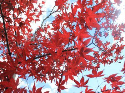 平岡樹芸センターの色づくモミジ