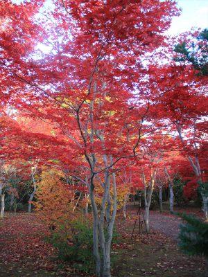 赤く染まるもみじの木